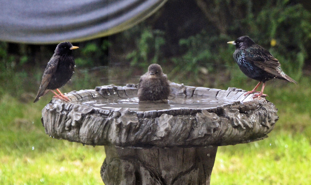 Starlings in the bath