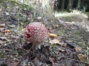 fly agaric in woods